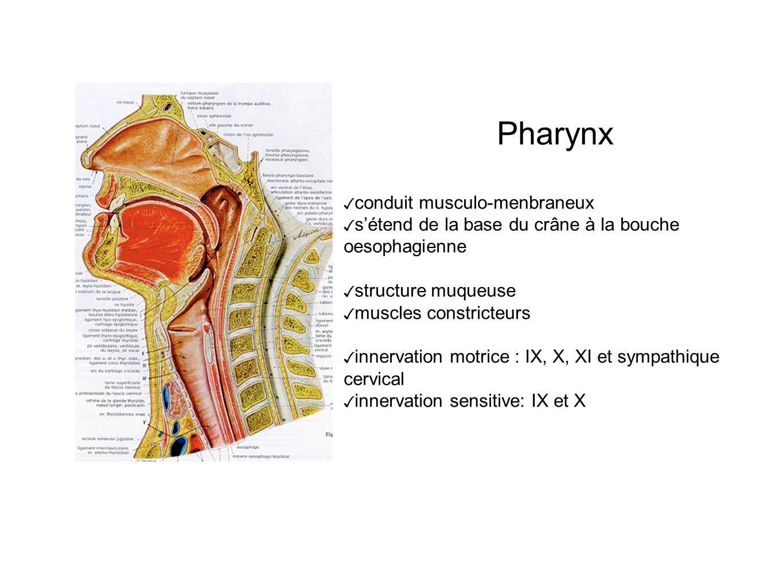 Pharynx conduit musculo-menbraneux sétend de la base du crâne à la bouche oesophagienne structure muqueuse muscles constricteurs innervation motrice : IX, X, XI et sympathique cervical innervation sensitive: IX et X