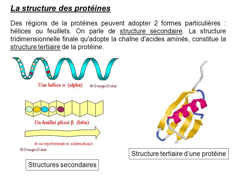 La structure des protéines Des régions de la protéines peuvent adopter 2 formes particulières : hélices ou feuillets. On parle de structure secondaire