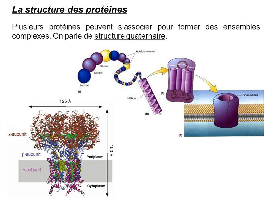 La structure des protéines Plusieurs protéines peuvent sassocier pour former des ensembles complexes. On parle de structure quaternaire.