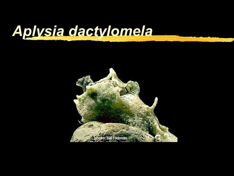 Co-variation neurones/environnement. zLaplysie est un mollusque qui vit entre autres en Baie dArcachon. zElle a de gros neurones, ce qui en facilite l
