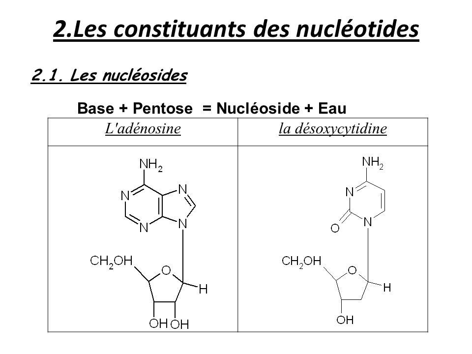 2.Les constituants des nucléotides 2.1. Les nucléosides Base + Pentose = Nucléoside + Eau L'adénosinela désoxycytidine