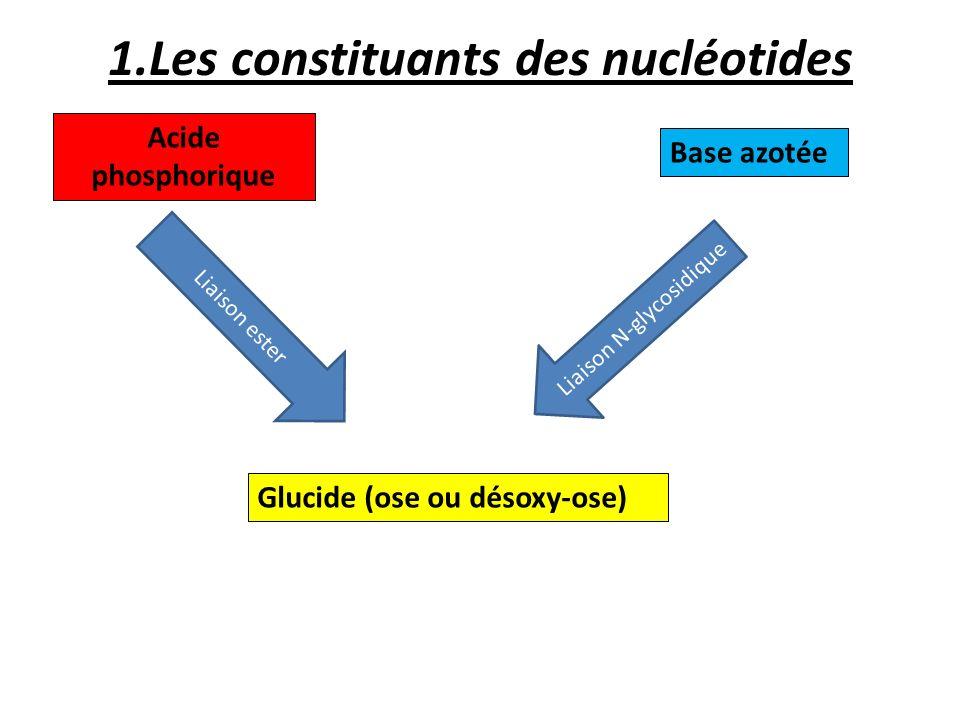 1.Les constituants des nucléotides Acide phosphorique Glucide (ose ou désoxy-ose) Base azotée Liaison ester Liaison N-glycosidique