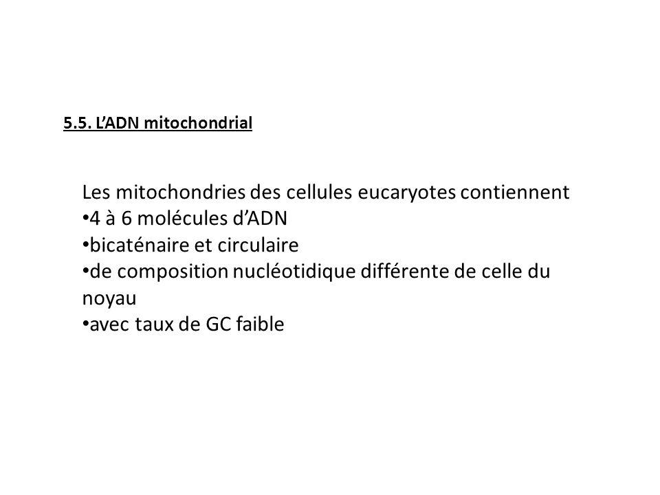 5.5. LADN mitochondrial Les mitochondries des cellules eucaryotes contiennent 4 à 6 molécules dADN bicaténaire et circulaire de composition nucléotidi