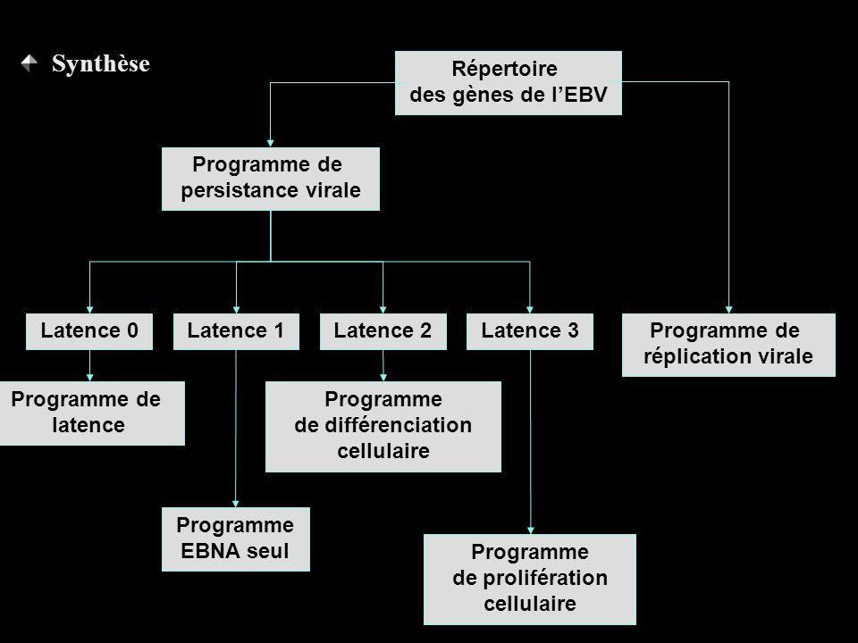 Répertoire des gènes de lEBV Programme de persistance virale Programme de réplication virale Latence 3 Programme de prolifération cellulaire Latence 2 Programme de différenciation cellulaire Latence 1 Programme EBNA seul Latence 0 Programme de latence Synthèse