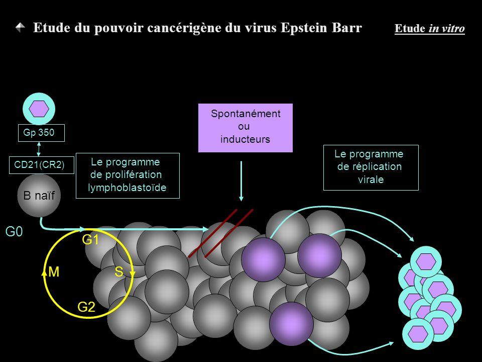 B naïf G0 CD21(CR2) Gp 350 Le programme de prolifération lymphoblastoïde Le programme de réplication virale Spontanément ou inducteurs G1 G2 SM Etude