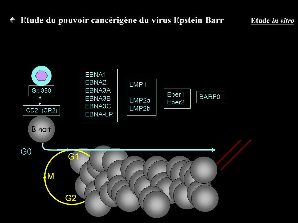 G1 G2 SM B naïf G0 CD21(CR2) Gp 350 EBNA1 EBNA2 EBNA3A EBNA3B EBNA3C EBNA-LP LMP1 LMP2a LMP2b Eber1 Eber2 BARF0 Etude du pouvoir cancérigène du virus Epstein Barr Etude in vitro