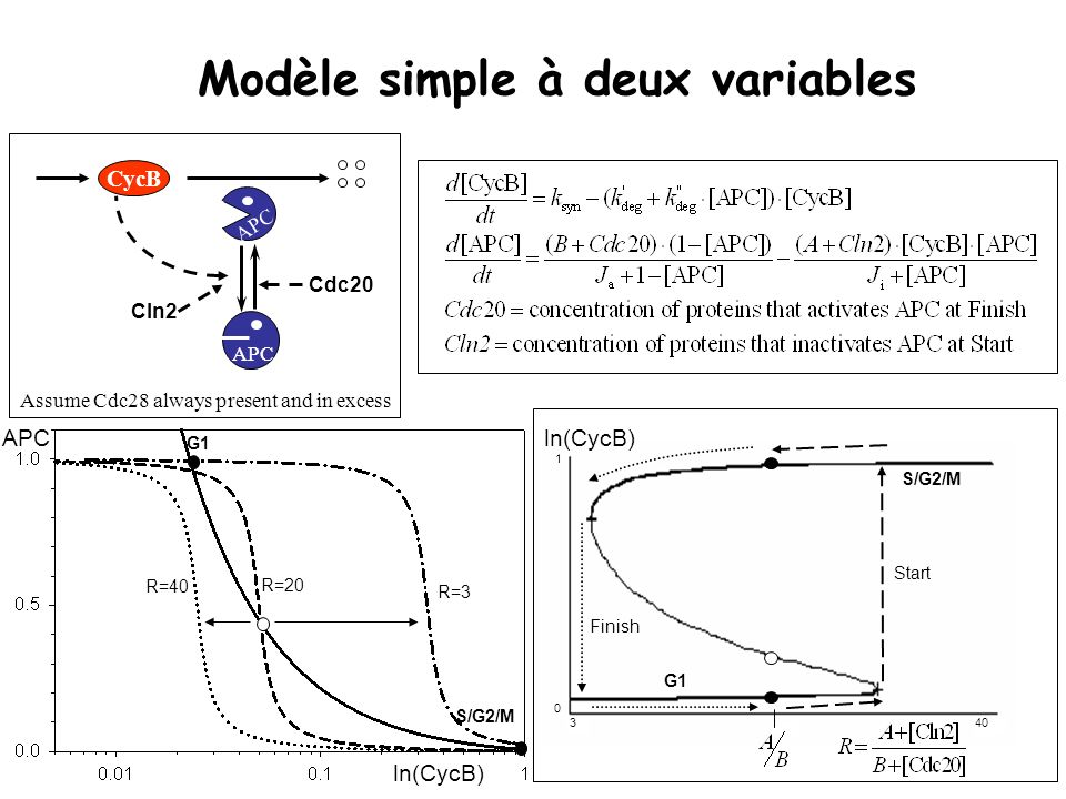 Modèle simple à deux variables R=40 R=20 R=3 G1 S/G2/M ln(CycB) APC CycB APC Assume Cdc28 always present and in excess Cln2 Cdc20 G1 Start Finish S/G2/M ln(CycB) 1 0 340