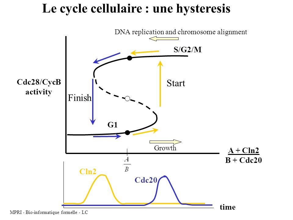 MPRI - Bio-informatique formelle - LC Cdc28/CycB activity A + Cln2 B + Cdc20 G1 S/G2/M time Cln2 Cdc20 DNA replication and chromosome alignment Growth Le cycle cellulaire : une hysteresis Start Finish