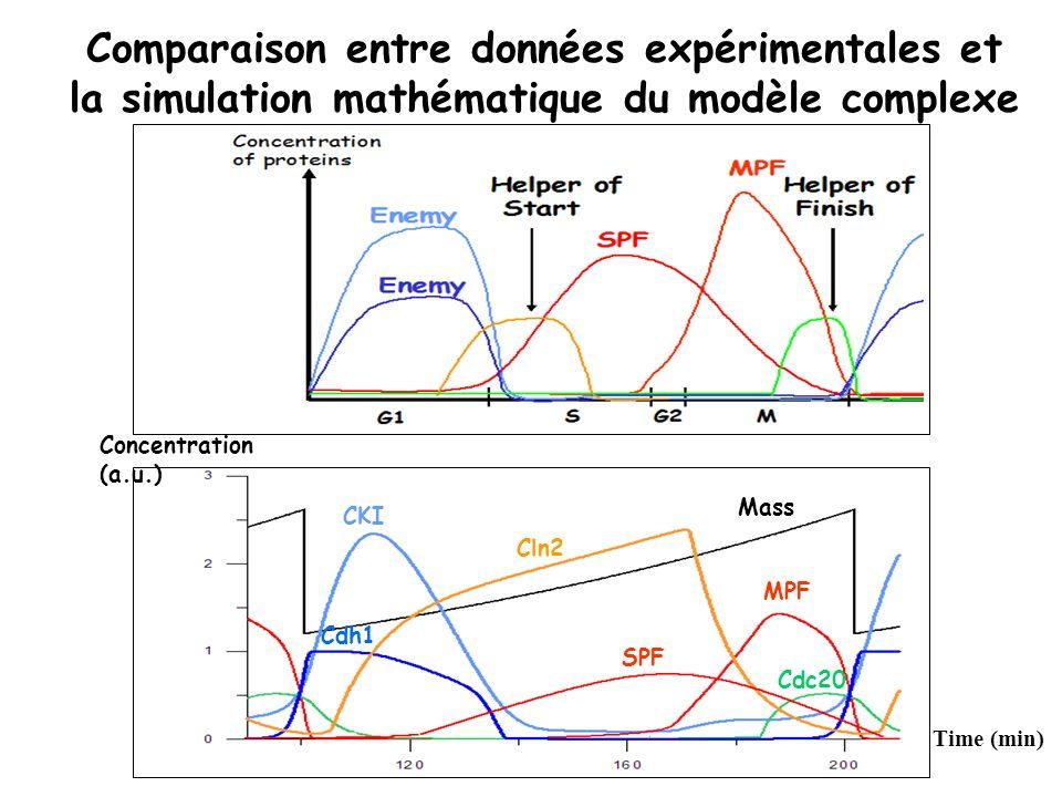 Comparaison entre données expérimentales et la simulation mathématique du modèle complexe Time (min) Concentration (a.u.) MPF CKI Cdc20 Cdh1 Mass Cln2