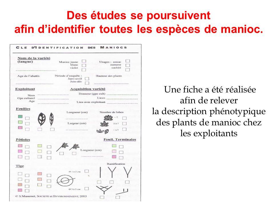Des études se poursuivent afin didentifier toutes les espèces de manioc. Une fiche a été réalisée afin de relever la description phénotypique des plan