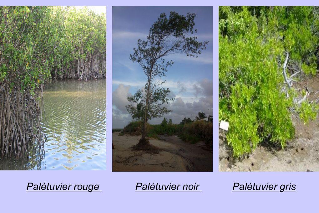 Expérience : évolution du palétuvier gris avec ses racines dans de l eau salée et de la vase.