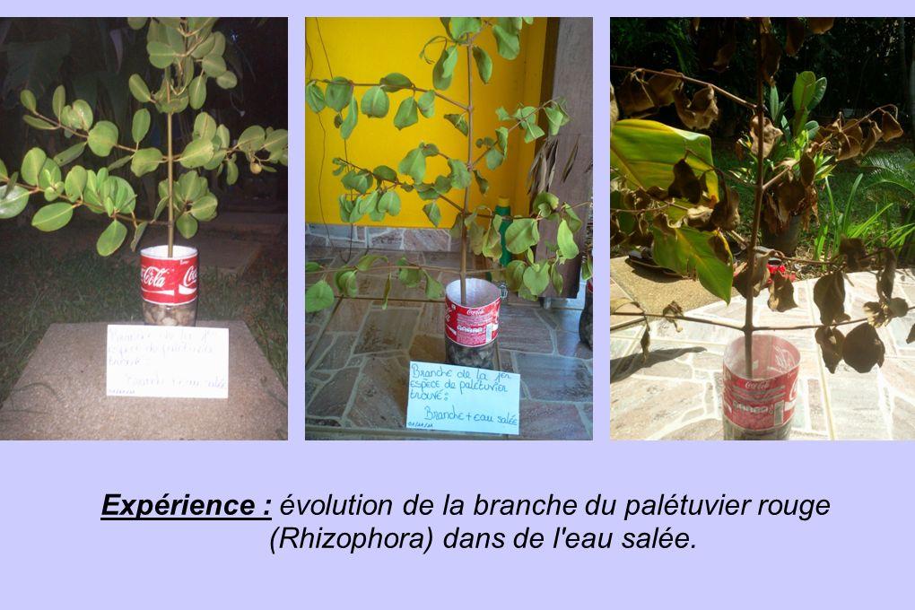 Expérience : évolution de la branche du palétuvier rouge (Rhizophora) dans de l'eau salée.