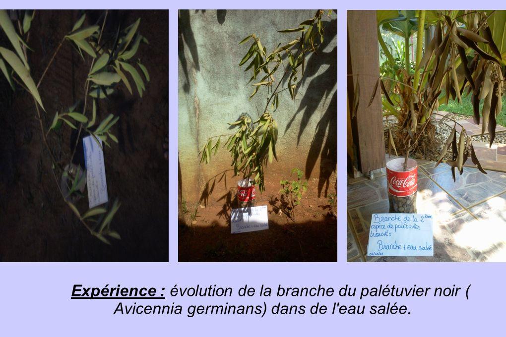 Expérience : évolution de la branche du palétuvier noir ( Avicennia germinans) dans de l'eau salée.