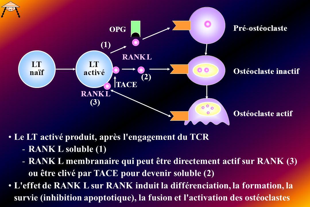 LT naïf LT activé RANK L TACE Le LT activé produit, après l engagement du TCR -RANK L soluble (1) -RANK L membranaire qui peut être directement actif sur RANK (3) ou être clivé par TACE pour devenir soluble (2) L effet de RANK L sur RANK induit la différenciation, la formation, la survie (inhibition apoptotique), la fusion et l activation des ostéoclastes OPG Pré-ostéoclaste Ostéoclaste inactif Ostéoclaste actif RANK L (1) (2) (3)