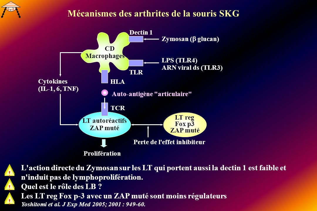 L action directe du Zymosan sur les LT qui portent aussi la dectin 1 est faible et n induit pas de lymphoprolifération.