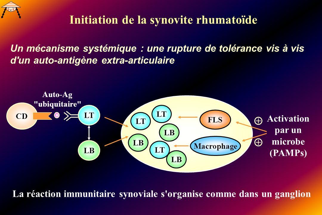 Initiation de la synovite rhumatoïde Un mécanisme systémique : une rupture de tolérance vis à vis d un auto-antigène extra-articulaire FLS Macrophage LT LB LT LB LT LB CD LT Activation par un microbe (PAMPs) + + Auto-Ag ubiquitaire La réaction immunitaire synoviale s organise comme dans un ganglion