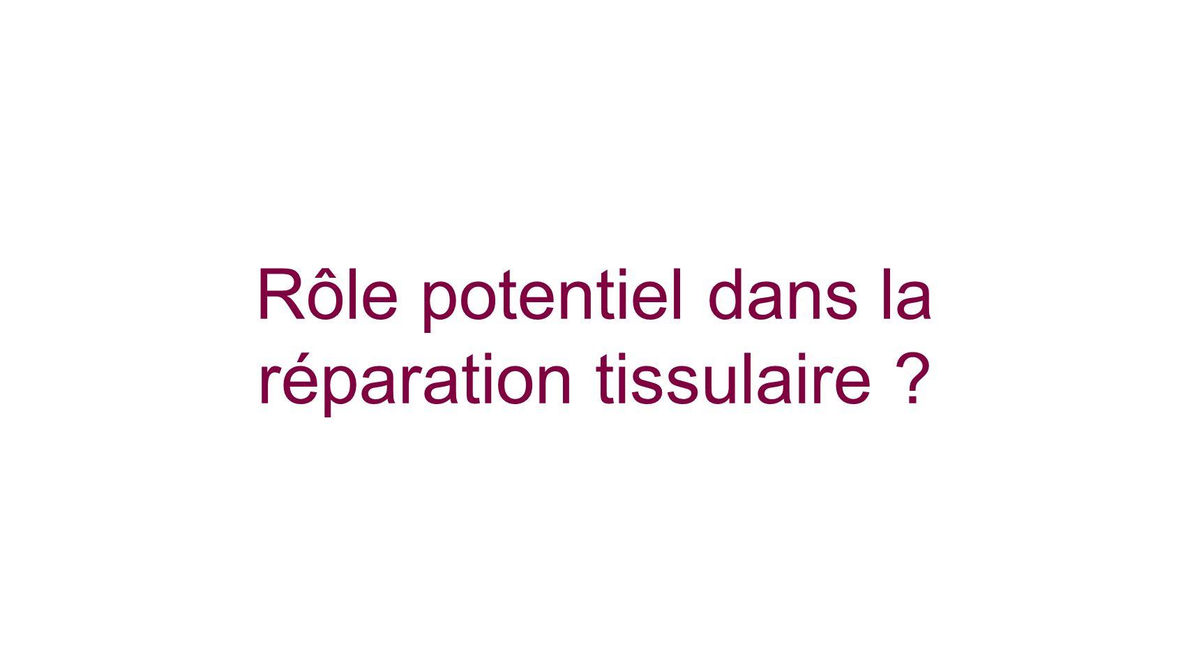 Rôle potentiel dans la réparation tissulaire ?