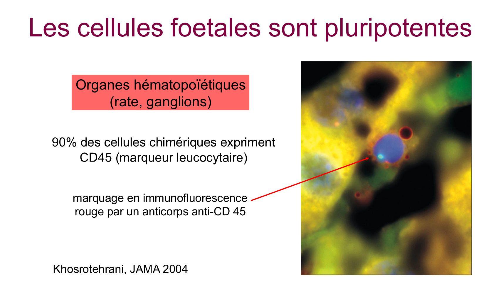 Khosrotehrani, JAMA 2004 Les cellules foetales sont pluripotentes marquage en immunofluorescence rouge par un anticorps anti-CD 45 Organes hématopoïét