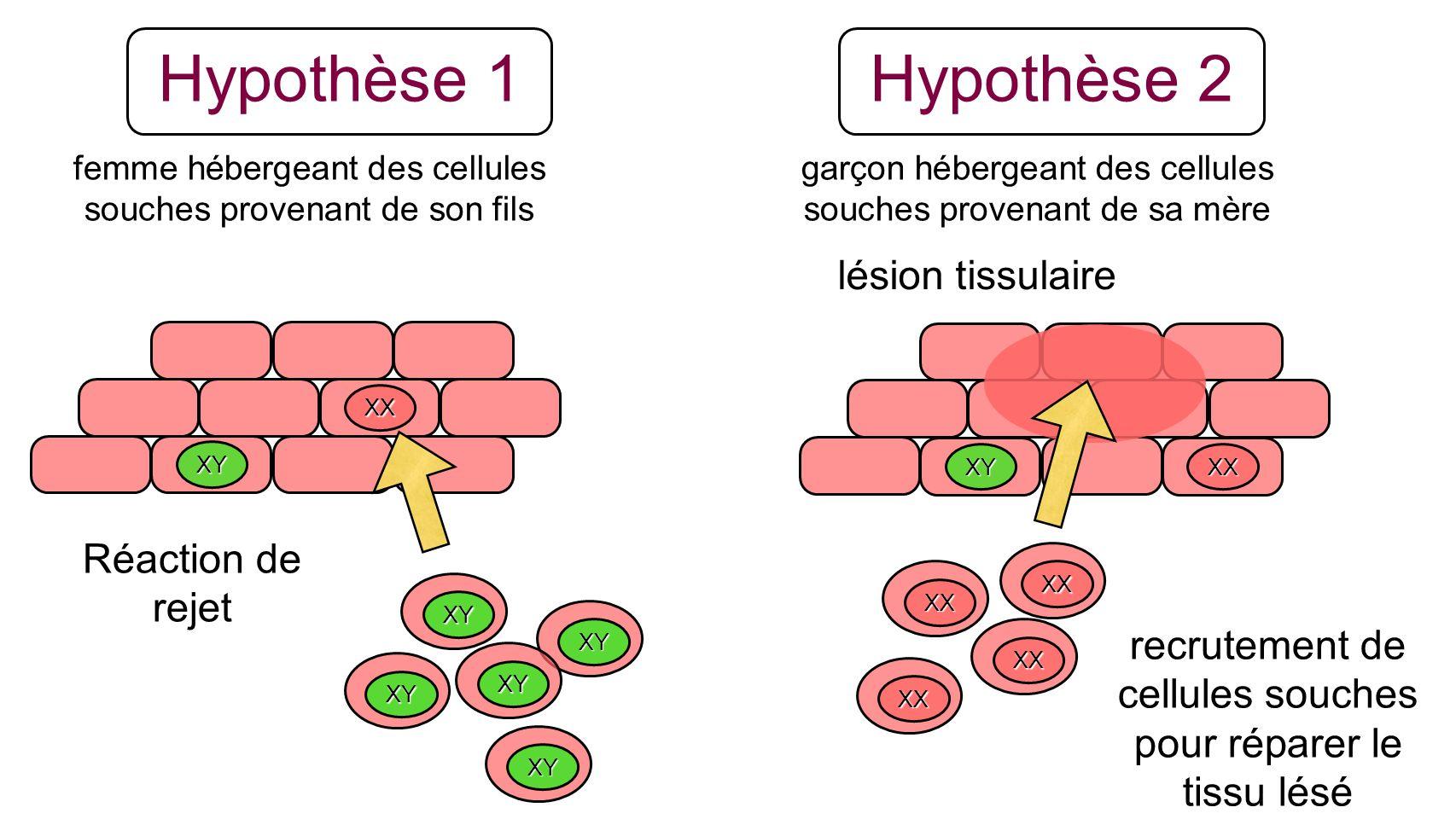 Hypothèse 1 XX XY XY Réaction de rejet XY XY XY XY XYXX lésion tissulaire XX XX XX XX recrutement de cellules souches pour réparer le tissu lésé femme
