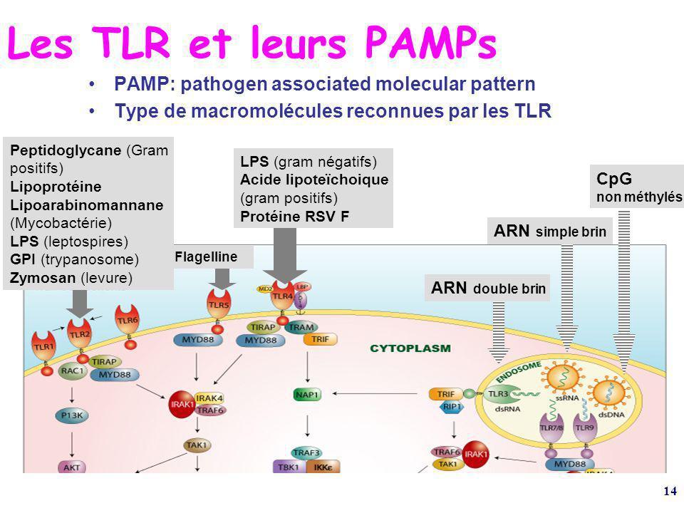 14 Les TLR et leurs PAMPs PAMP: pathogen associated molecular pattern Type de macromolécules reconnues par les TLR ARN double brin Flagelline CpG non méthylés Peptidoglycane (Gram positifs) Lipoprotéine Lipoarabinomannane (Mycobactérie) LPS (leptospires) GPI (trypanosome) Zymosan (levure) LPS (gram négatifs) Acide lipoteïchoique (gram positifs) Protéine RSV F ARN simple brin