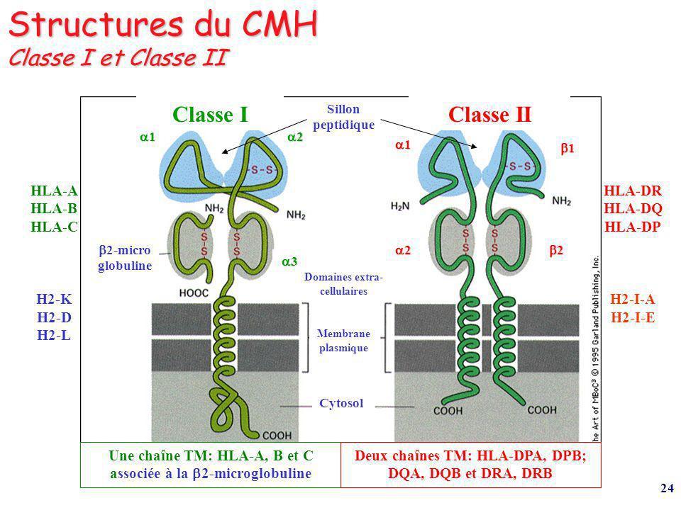 24 Structures du CMH Classe I et Classe II Classe IClasse II Une chaîne TM: HLA-A, B et C associée à la 2-microglobuline Deux chaînes TM: HLA-DPA, DPB; DQA, DQB et DRA, DRB Membrane plasmique Cytosol Domaines extra- cellulaires Sillon peptidique 2-micro globuline 1 2 3 1 2 1 2 HLA-A HLA-B HLA-C H2-K H2-D H2-L HLA-DR HLA-DQ HLA-DP H2-I-A H2-I-E