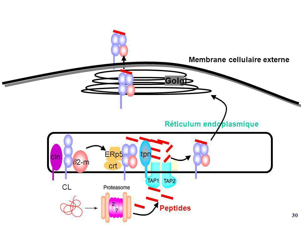 30 ERp57 2-m tpn crt cln CL Membrane cellulaire externe Golgi Réticulum endoplasmique Peptides