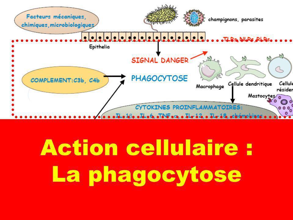 6 Action cellulaire : La phagocytose