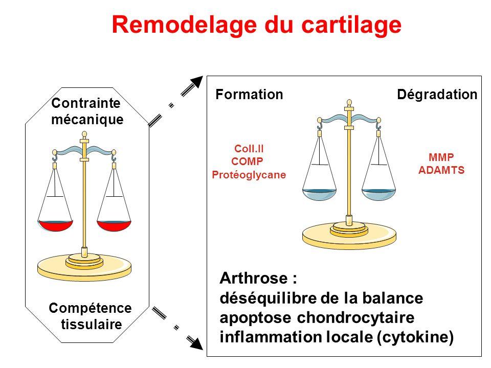 FormationDégradation Coll.II COMP Protéoglycane MMP ADAMTS Remodelage du cartilage Arthrose : déséquilibre de la balance apoptose chondrocytaire infla