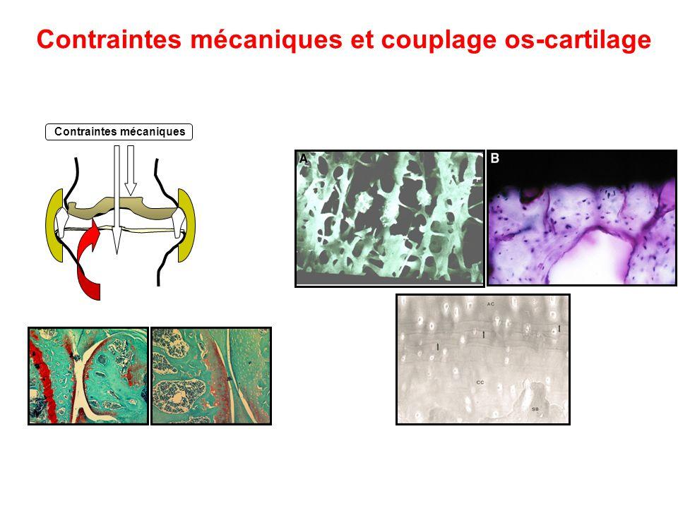 Contraintes mécaniques et couplage os-cartilage Contraintes mécaniques
