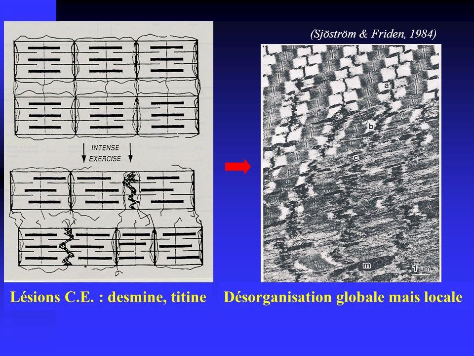 Lésions C.E. : desmine, titine (Sjöström & Friden, 1984) Désorganisation globale mais locale