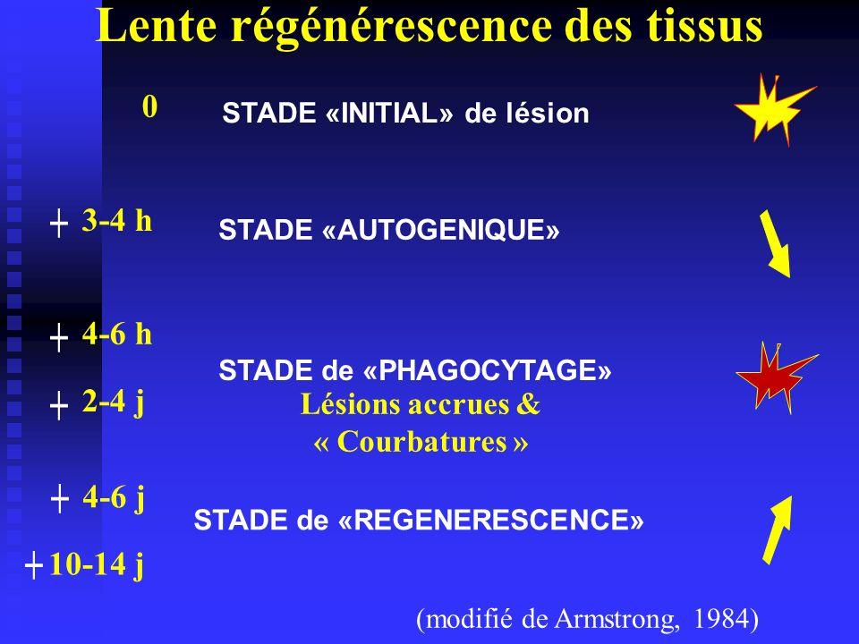 STADE «INITIAL» de lésion 0 STADE «AUTOGENIQUE» 3-4 h STADE de «PHAGOCYTAGE» 4-6 h 2-4 j (modifié de Armstrong, 1984) 4-6 j STADE de «REGENERESCENCE»