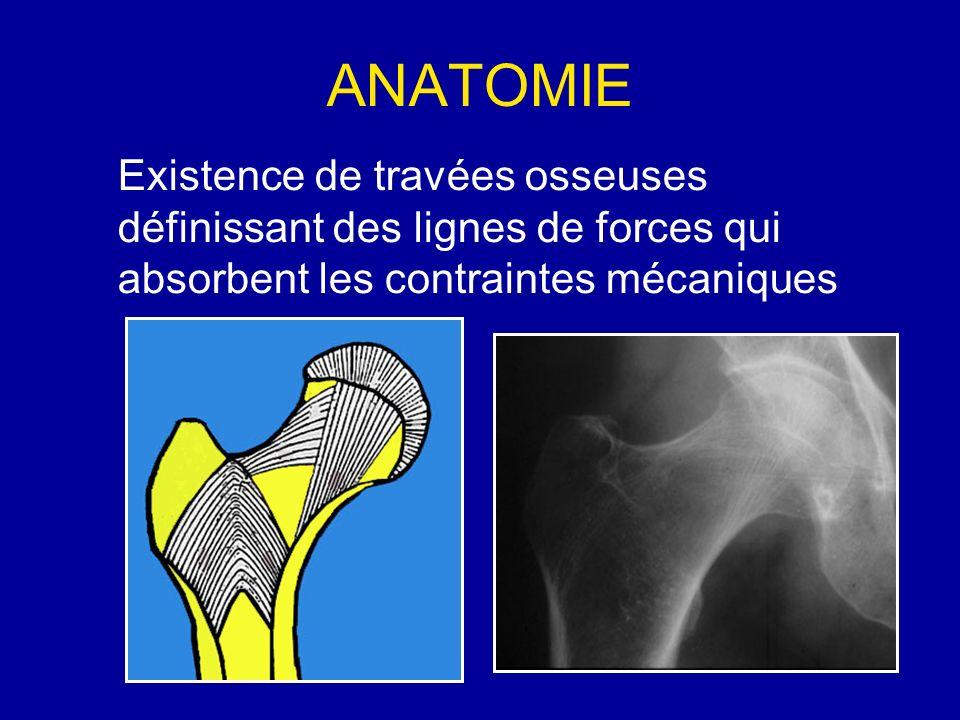 ANATOMIE Existence de travées osseuses définissant des lignes de forces qui absorbent les contraintes mécaniques