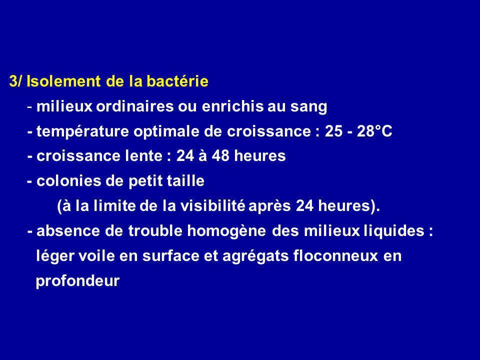 3/ Isolement de la bactérie - milieux ordinaires ou enrichis au sang - température optimale de croissance : 25 - 28°C - croissance lente : 24 à 48 heu