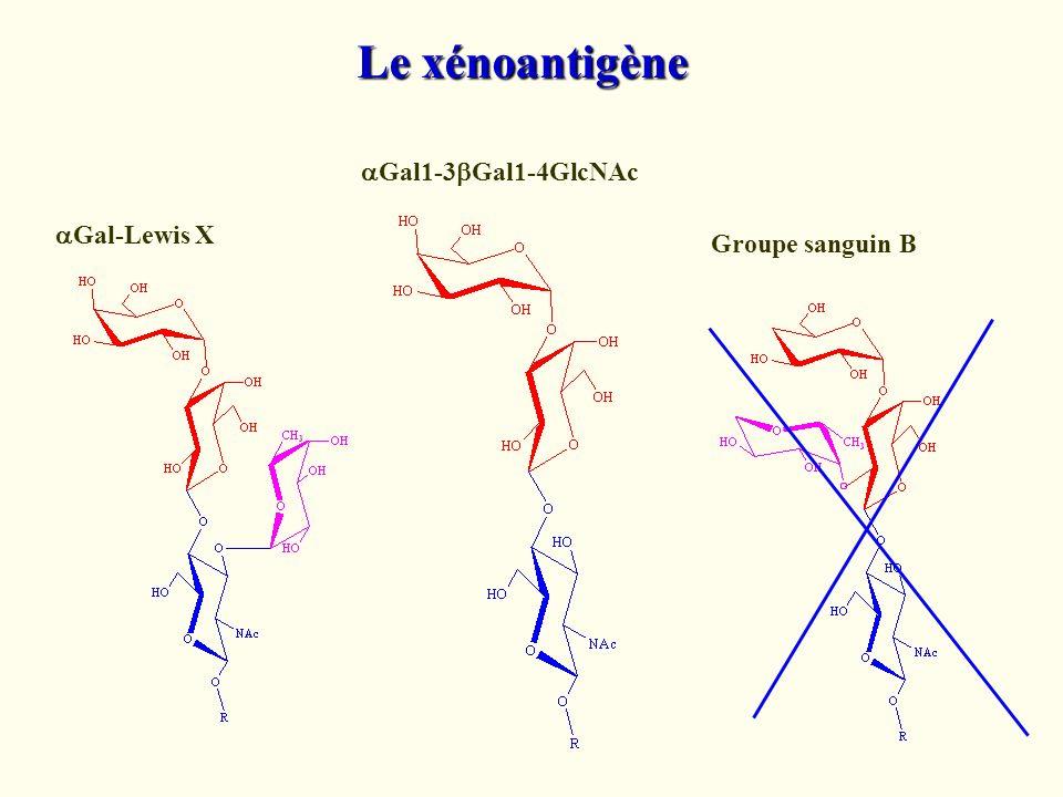 Le xénoantigène Gal1-3 Gal1-4GlcNAc Gal-Lewis X Groupe sanguin B