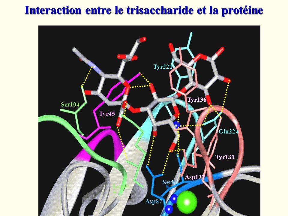 Interaction entre le trisaccharide et la protéine Asp87 Ser104 Tyr221 Tyr45 Glu224 Tyr131 Tyr136 Asp137 Lys10 7 Ser86