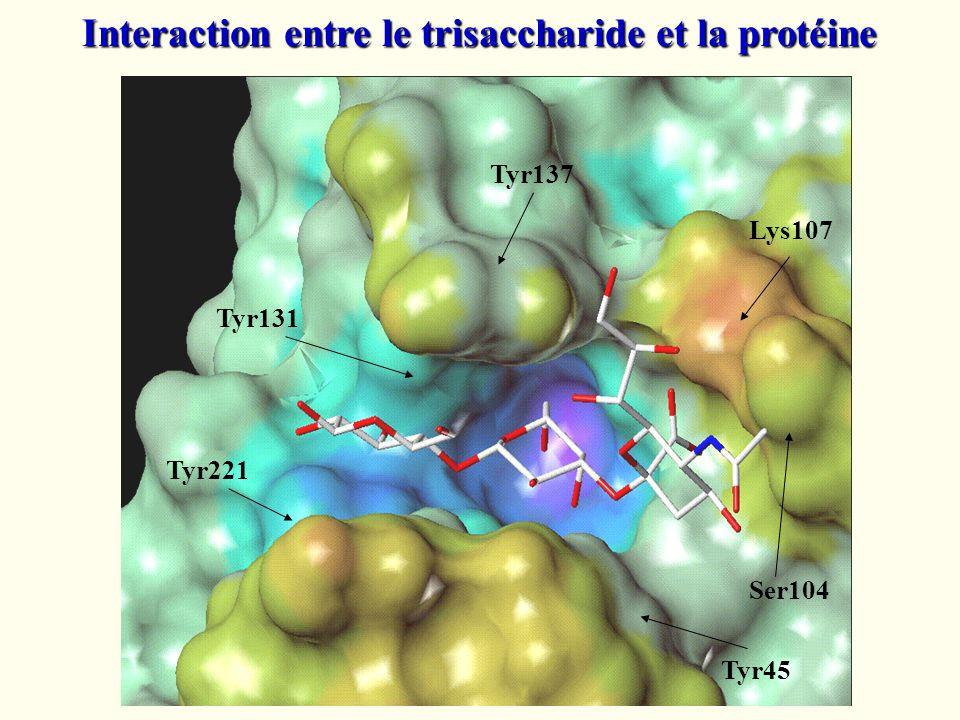 Tyr45 Tyr221 Tyr131 Tyr137 Lys107 Ser104 Interaction entre le trisaccharide et la protéine