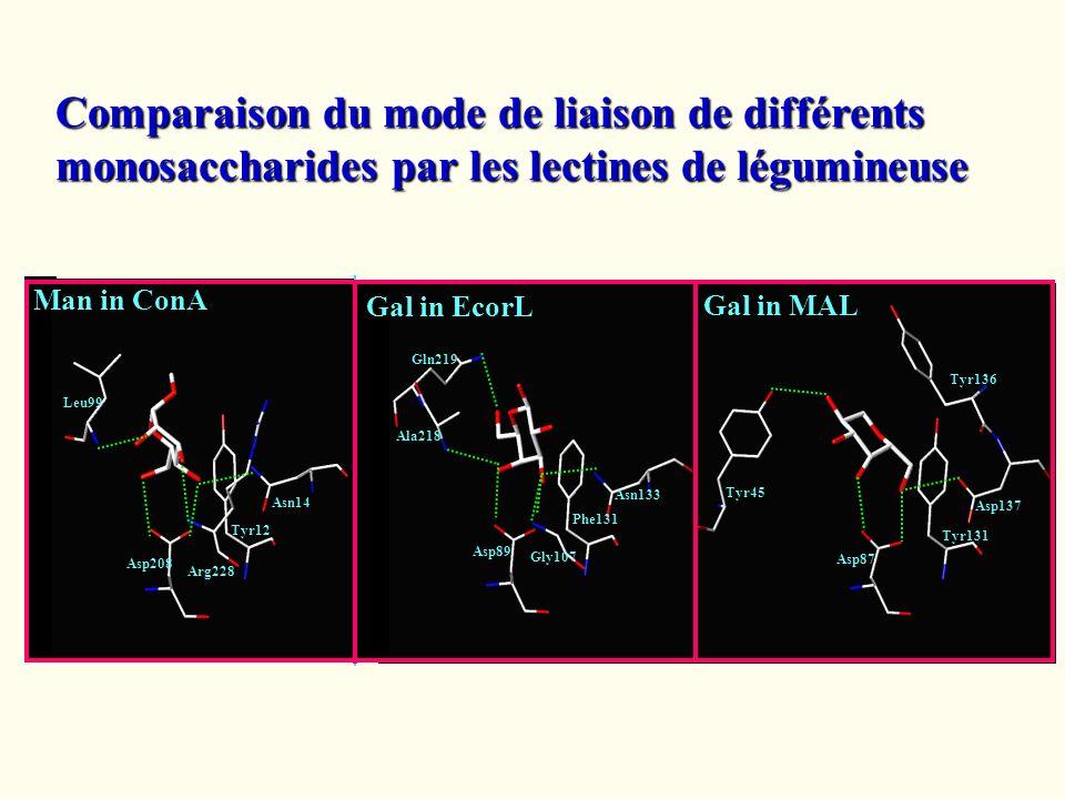 Comparaison du mode de liaison de différents monosaccharides par les lectines de légumineuse Asn133 Asp89 Gln219 Ala218 Phe131 Gly107 Gal in EcorL Asn