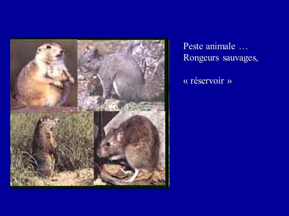 Sensibilité des Yersinia et traitement des yersinioses sensibilité Résistance naturelle de Y.enterocolitica aux : pénicillines et uréidopénicillines, C1G, C2G, céphamycines (phénotype pénicillinase + céphalosporinase) Sensibilité de Y.pseudotuberculosis aux bêta-lactamines Sensibilité habituelle des Yersinia aux : aminosides, fluoroquinolones, cyclines, chloramphénicol Traitement - entérites : fluoroquinolones ou cyclines - atteintes systémiques : fluoroquinolones + aminosides