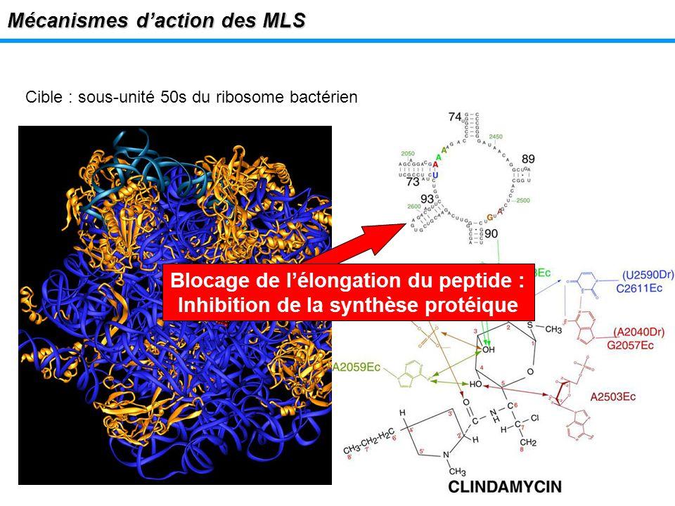 Mécanismes daction des MLS Cible : sous-unité 50s du ribosome bactérien Blocage de lélongation du peptide : Inhibition de la synthèse protéique
