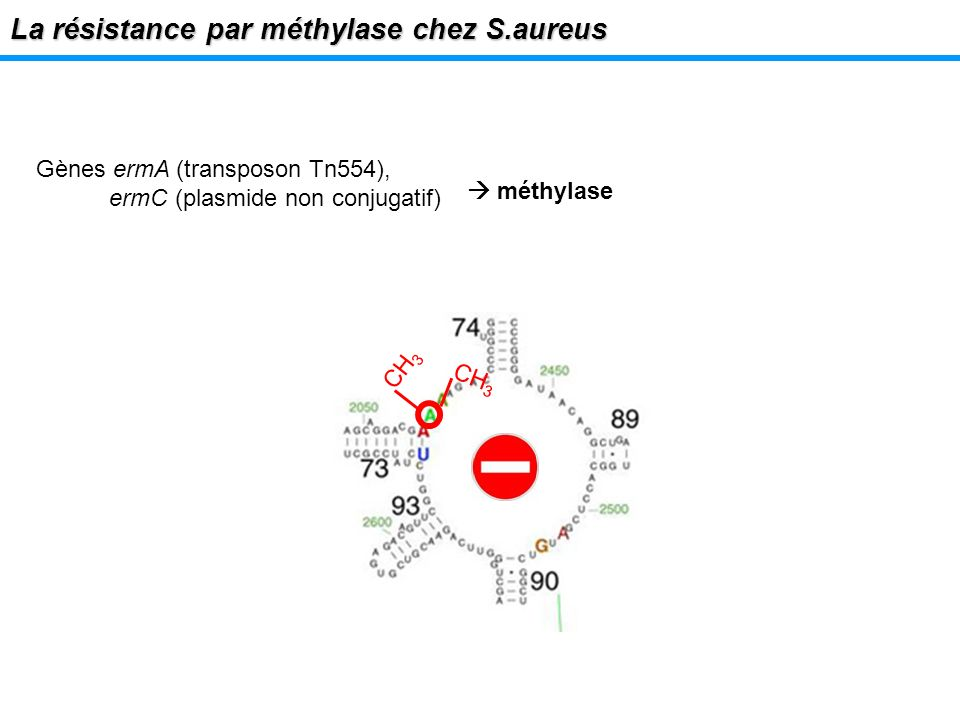 Lexpression de la méthylase en labsence dinducteur La résistance par méthylase chez S.aureus Séquestration des codons de départ de traduction et sites dattachement du ribosome PAS DE TRADUCTION DE Erm : PAS DE PRODUCTION DE METHYLASE (Weisblum, AAC, 1995)