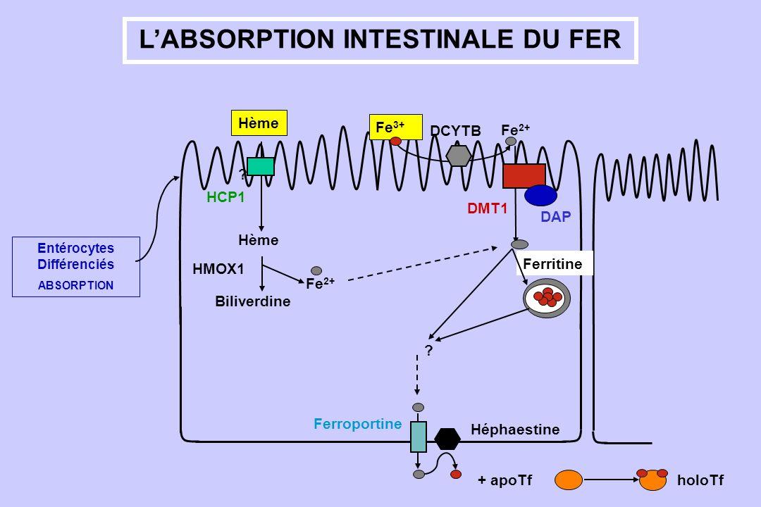 LABSORPTION INTESTINALE DU FER Entérocytes Différenciés ABSORPTION DMT1 Fe 2+ DCYTB Fe 3+ Ferritine ? Ferroportine Héphaestine Hème ? Fe 2+ Biliverdin