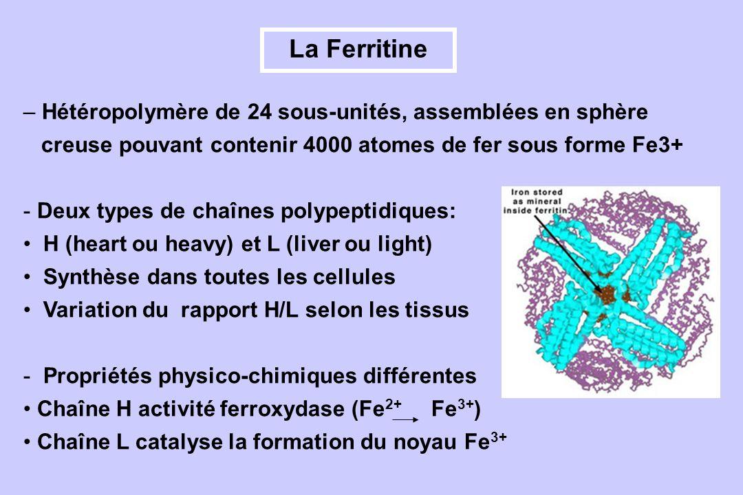 La Ferritine – Hétéropolymère de 24 sous-unités, assemblées en sphère creuse pouvant contenir 4000 atomes de fer sous forme Fe3+ - Deux types de chaîn