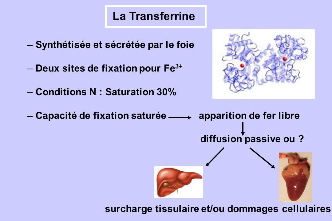 La Transferrine surcharge tissulaire et/ou dommages cellulaires – Synthétisée et sécrétée par le foie – Deux sites de fixation pour Fe 3+ – Conditions