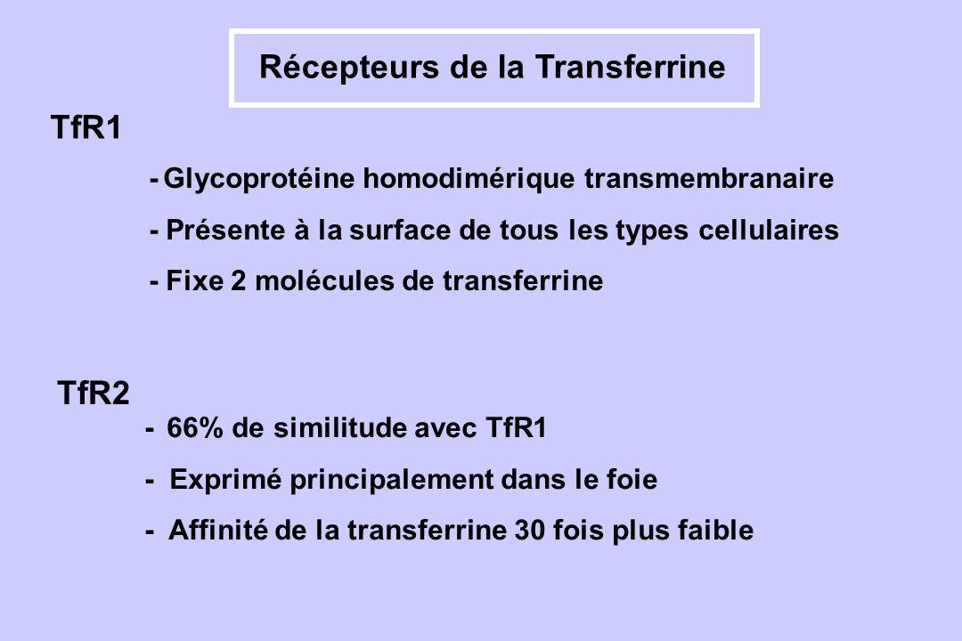 Récepteurs de la Transferrine - Glycoprotéine homodimérique transmembranaire - Présente à la surface de tous les types cellulaires - Fixe 2 molécules