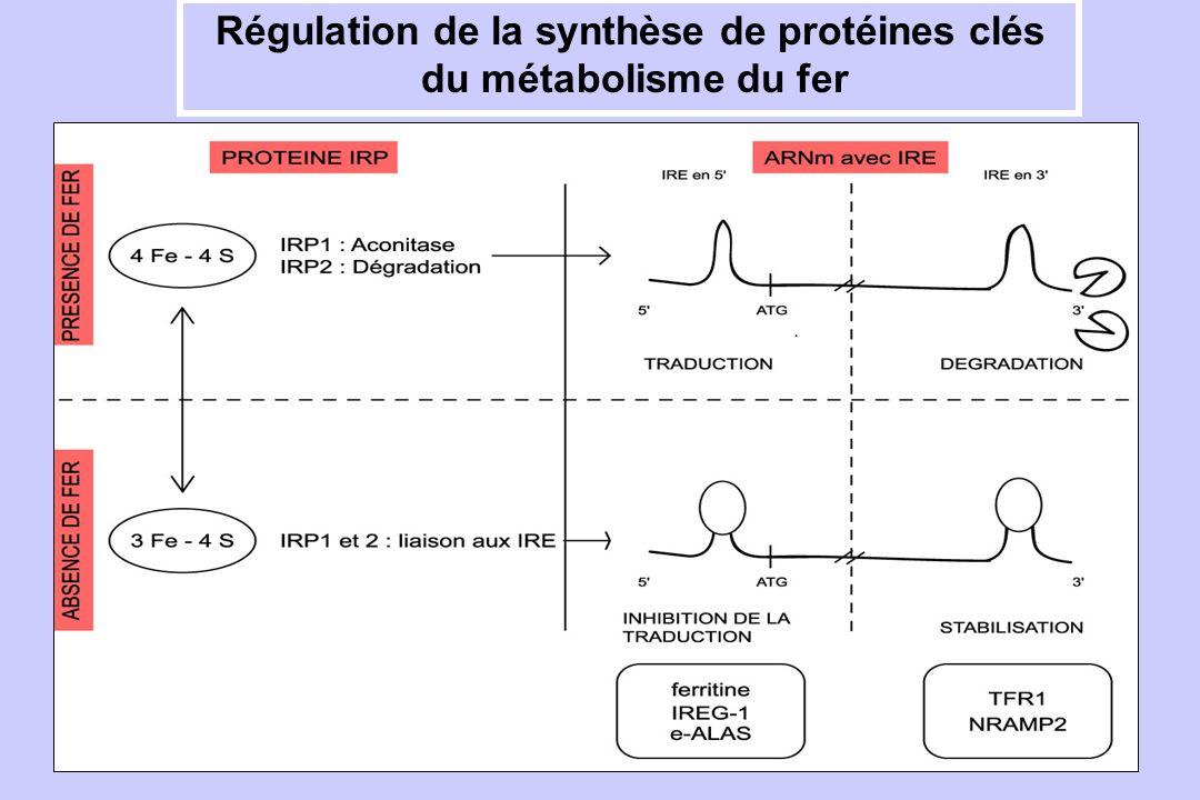 Régulation de la synthèse de protéines clés du métabolisme du fer