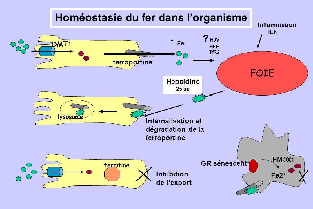 FOIE Internalisation et dégradation de la ferroportine lysosome Inhibition de lexport DMT1 ferritine Homéostasie du fer dans lorganisme HMOX1 GR sénes
