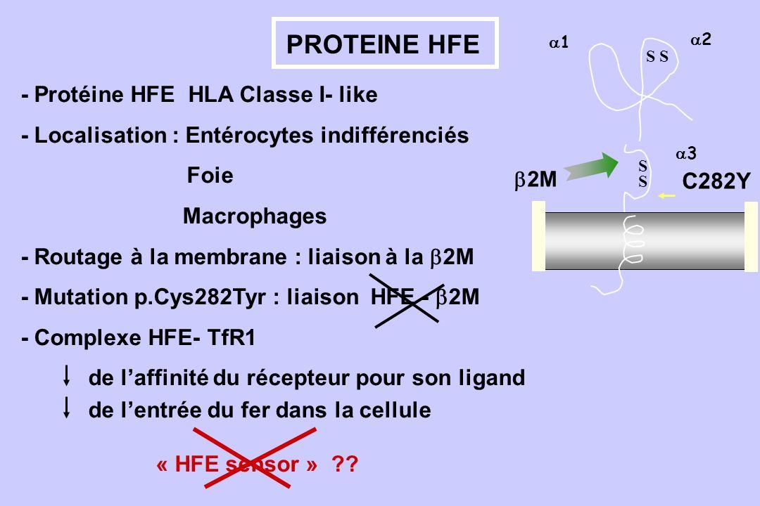 PROTEINE HFE 3 1 SSSS 2 C282Y S 2M - Protéine HFE HLA Classe I- like - Localisation : Entérocytes indifférenciés Foie Macrophages - Routage à la membr