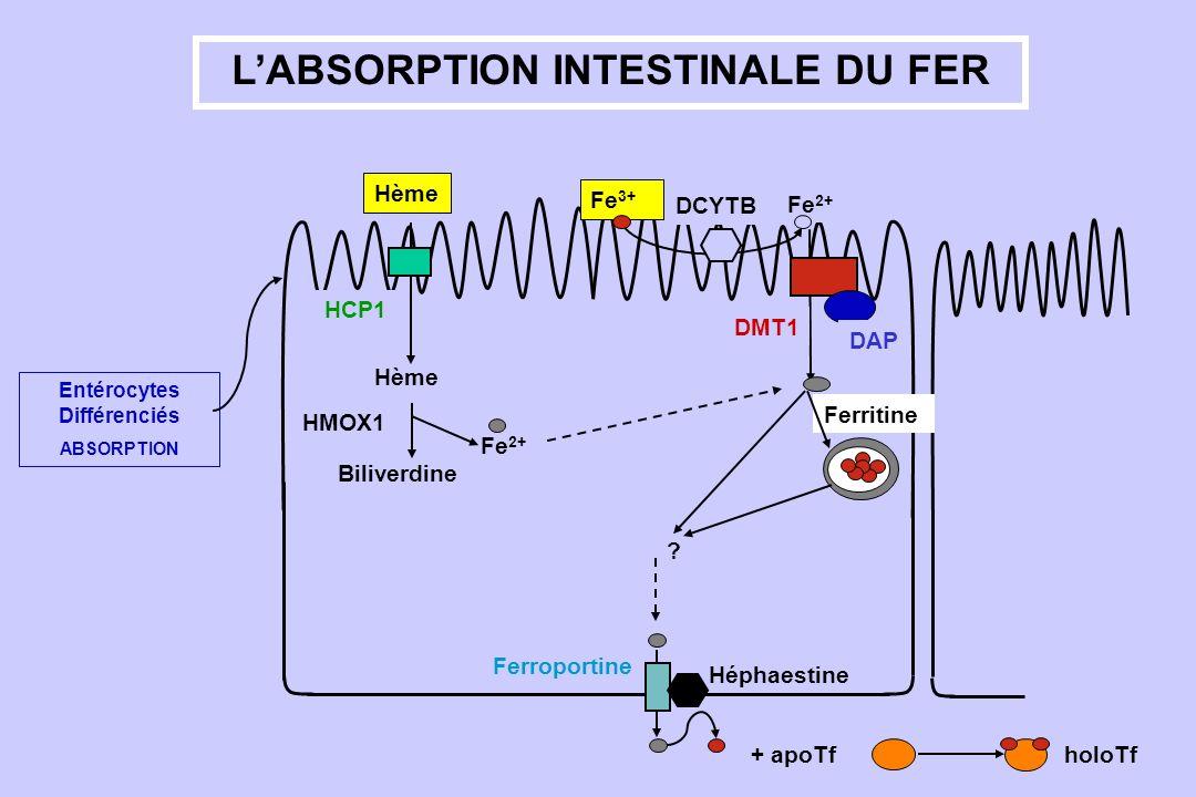 LABSORPTION INTESTINALE DU FER Entérocytes Différenciés ABSORPTION Fe 2+ DCYTB Fe 3+ Ferritine ? Ferroportine Héphaestine Hème Fe 2+ Biliverdine HMOX1