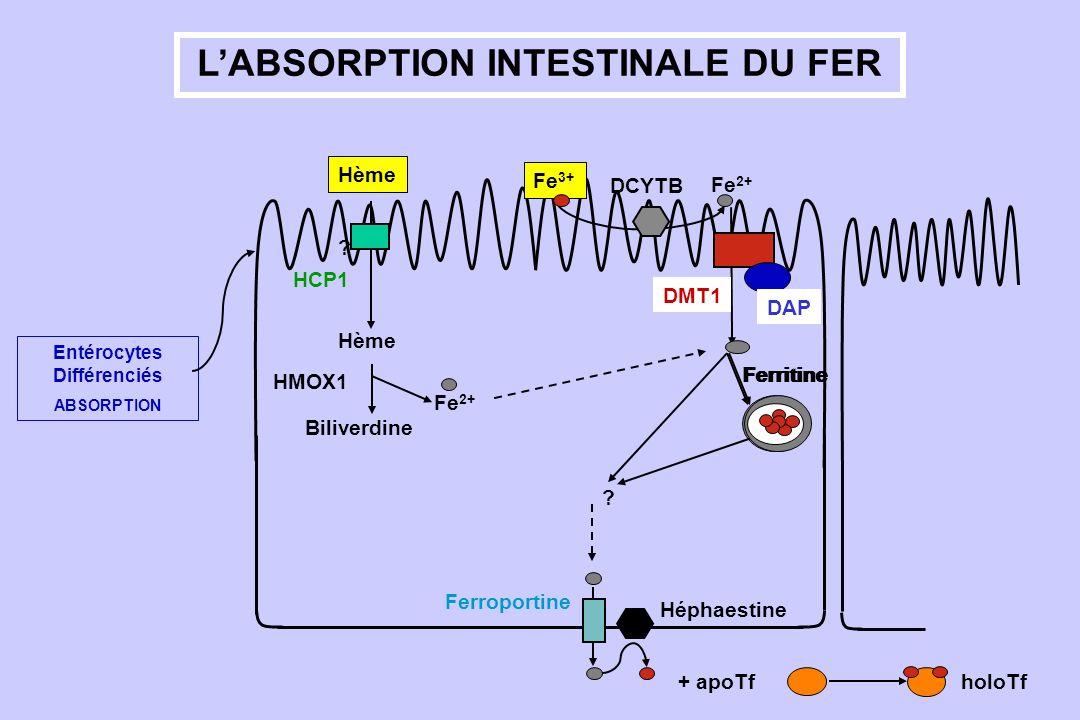 LABSORPTION INTESTINALE DU FER Entérocytes Différenciés ABSORPTION Fe 2+ DCYTB Fe 3+ Ferritine ? Ferroportine Héphaestine Hème ? Fe 2+ Biliverdine HMO