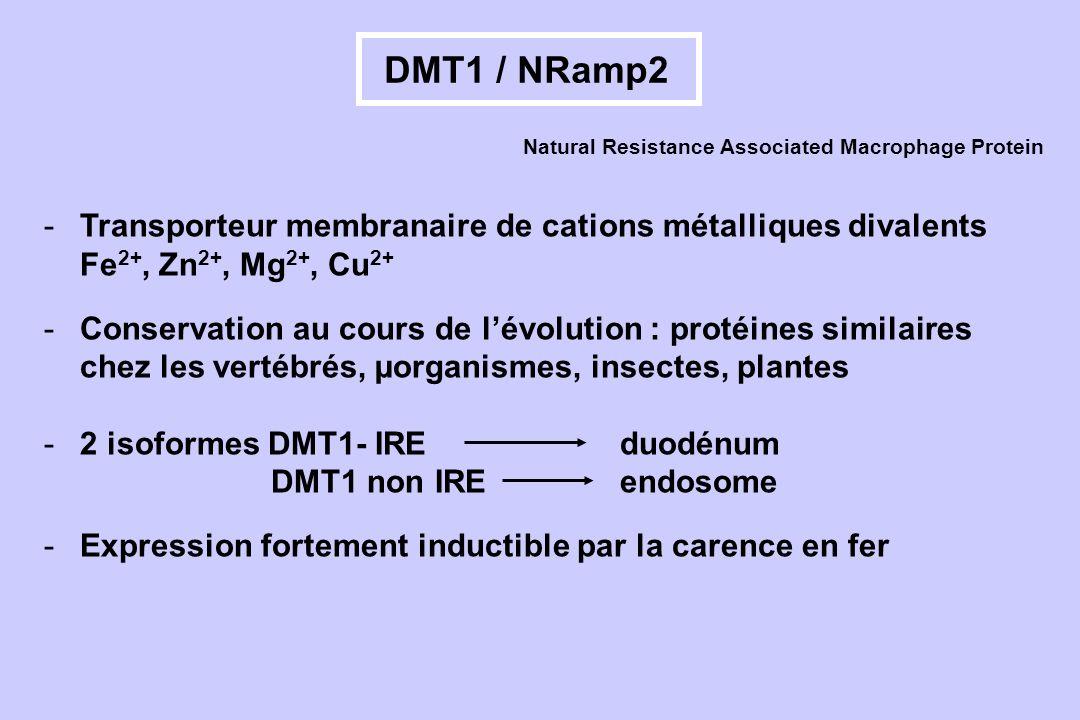 DMT1 / NRamp2 -Transporteur membranaire de cations métalliques divalents Fe 2+, Zn 2+, Mg 2+, Cu 2+ -Conservation au cours de lévolution : protéines s
